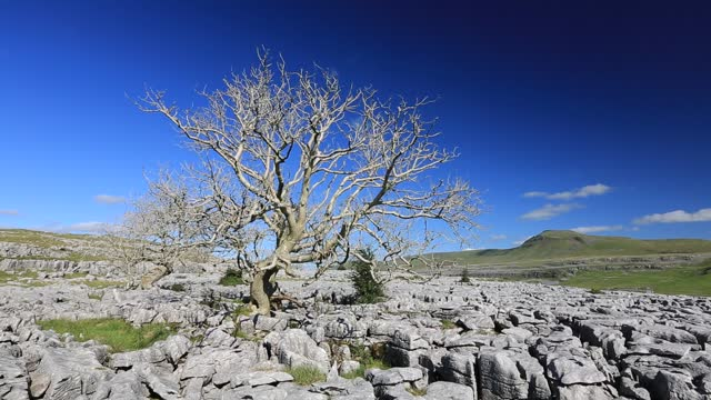ash trees dying from ash dieback on limestone pavement on twisleton scar above ingleton, yorkshire dales, uk with penyghent in the background. - weathered stock videos & royalty-free footage