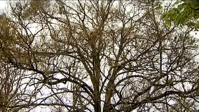 vidéos et rushes de ash trees in kew gardens; england: london: kew: royal botanic gardens: ext general views of ash trees, including close shots of name signs and leaves... - bare tree