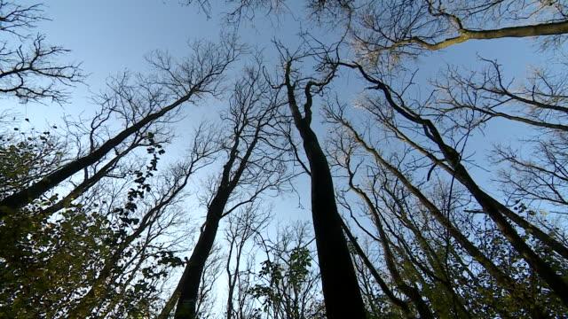 ash trees kiiled by ash dieback disease - bare tree stock videos & royalty-free footage