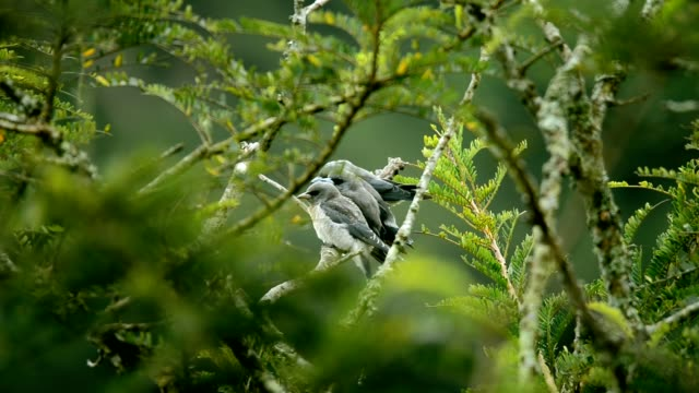 ashy woodswallow auf dem baum in vogelbeobachtung aktivität im khaoyai nationalpark, thailand, natur und tier - grasmückenartige stock-videos und b-roll-filmmaterial