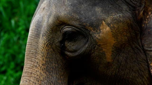 asia elephant eye - djuröga bildbanksvideor och videomaterial från bakom kulisserna