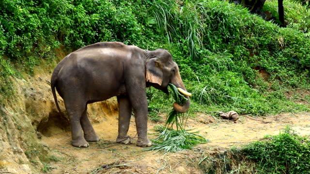 vidéos et rushes de asia éléphant dans la forêt. - nez d'animal