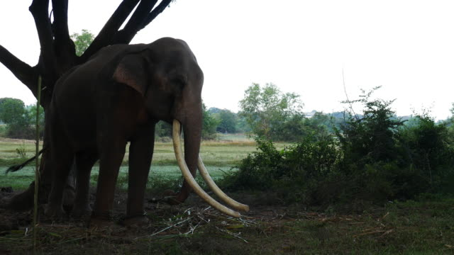 Asia elephant in surin,Thailand