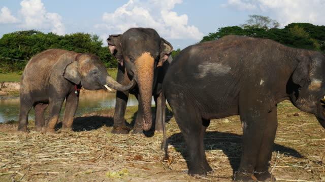 Asia elephant in surin,Thailand