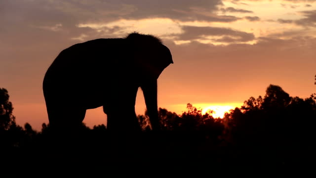 stockvideo's en b-roll-footage met asia elephant in the forest at sunset - back lit