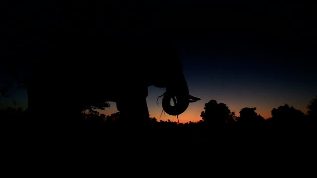 vidéos et rushes de asie dos d'éléphant dans la forêt au coucher du soleil - herbivore