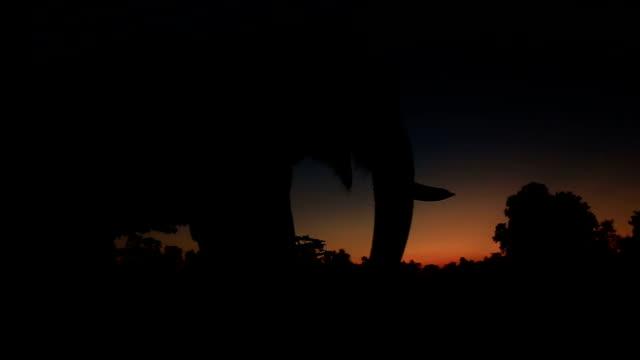 vídeos de stock, filmes e b-roll de ásia elefante na floresta ao pôr do sol - elefante