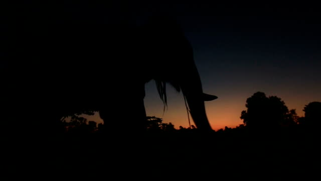 asia elephant in the forest at sunset - herbivorous stock videos & royalty-free footage
