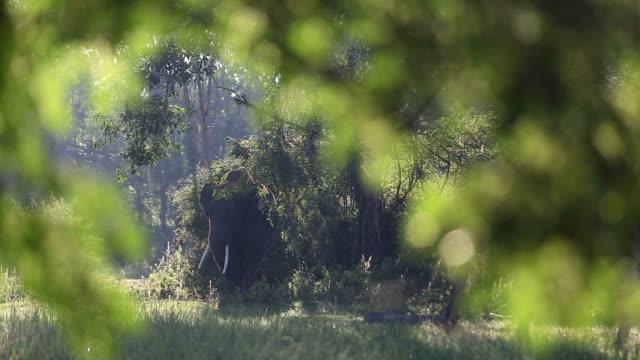 asia elephant - animal ear stock videos & royalty-free footage