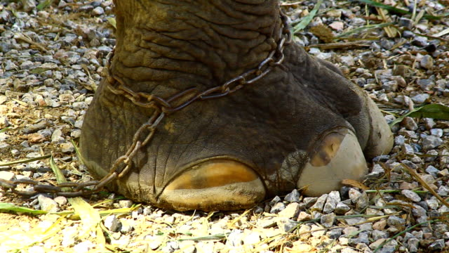 asien elephant's foot chained - captive animals stock-videos und b-roll-filmmaterial