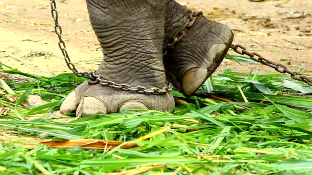 Asien elephant's foot chained