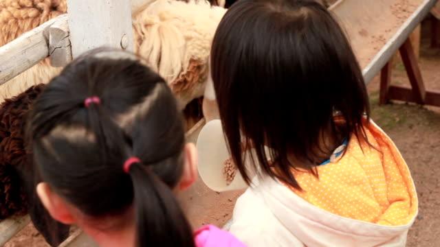 Asien Mädchen Fütterung von Schafen in einem Feld.