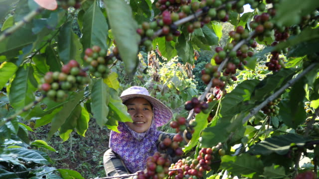 asia women picking coffee in the plant - picking stock videos & royalty-free footage