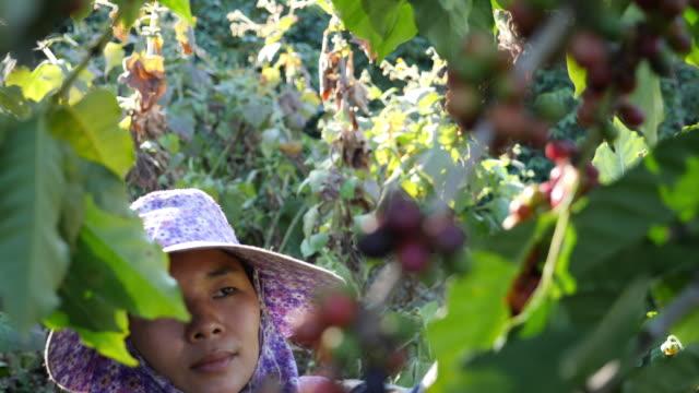 コーヒー工場でコーヒースローモーションを選ぶアジアの女性 - harvesting点の映像素材/bロール