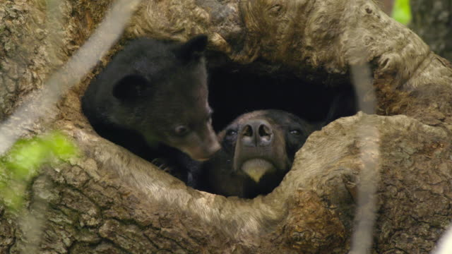 asian black bear cub and its mother in a tree cave, jirisan(second tallest mountain in korea) gyeongsangnam-do, south korea - höhle stock-videos und b-roll-filmmaterial