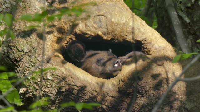 asian black bear cub and its mother in a tree cave, jirisan(second tallest mountain in korea) gyeongsangnam-do, south korea - bär stock-videos und b-roll-filmmaterial