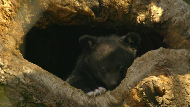 asian black bear cub inside tree cave in jirisan(second tallest mountain in korea) gyeongsangnam-do, south korea - höhle stock-videos und b-roll-filmmaterial