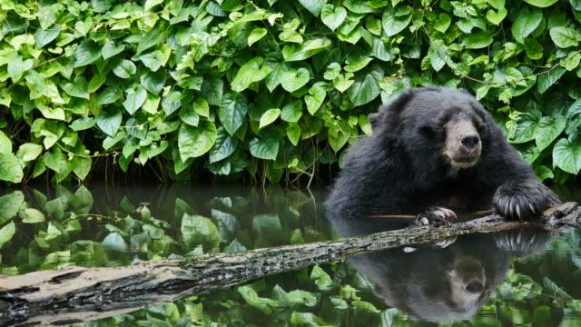 Aziatische zwarte beer kunt u ontspannen in de vijver.