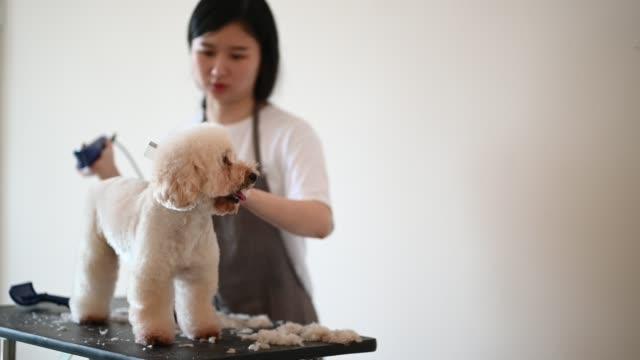 vídeos de stock, filmes e b-roll de groomer fêmea chinês asiático do animal de estimação com avental que prepara um cão marrom do poodle do brinquedo da cor - tosador de animais