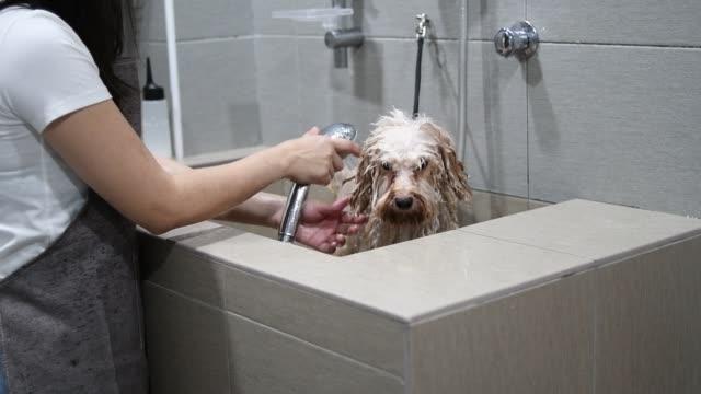 vídeos de stock, filmes e b-roll de asiático chinês feminino de estimação aparador de barba com avental enfeitando um cão poodle toy de cor marrom - banheira