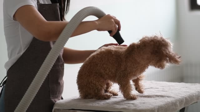 asian chinese female pet groomer with apron grooming a brown color toy poodle dog - animal groomer stock videos and b-roll footage