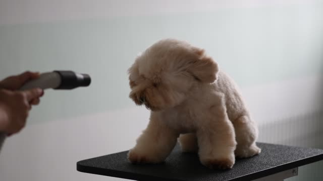 vídeos de stock e filmes b-roll de asian chinese female pet groomer with apron grooming a brown color toy poodle dog - câmara lenta