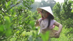Asian chinese grandchildren visit their grandparent's farm in hometown picking calamondin