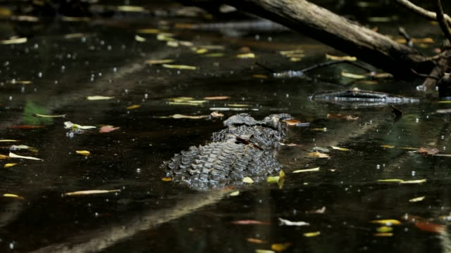 vídeos de stock e filmes b-roll de asian crocodile in the river - grupo mediano de animales