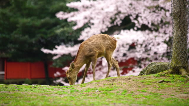 asian deer during cherry blossom season, japan. - nara prefecture stock videos and b-roll footage