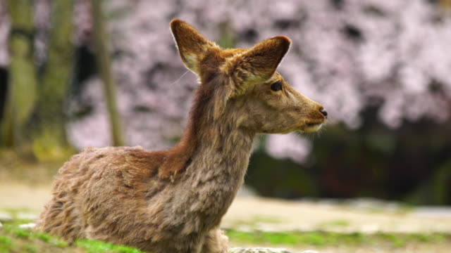 Asian deer during cherry blossom season, Japan.