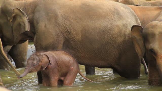 asian elefant baby - elefant stock-videos und b-roll-filmmaterial
