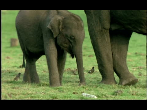 asian elephant (elephas maximus) calf, kabini, nagarahole, india - tierische nase stock-videos und b-roll-filmmaterial