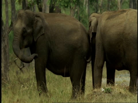 MS Asian Elephant, Elephas maximus, affectionate trunk touching and courtship behaviour, Western Ghats, India
