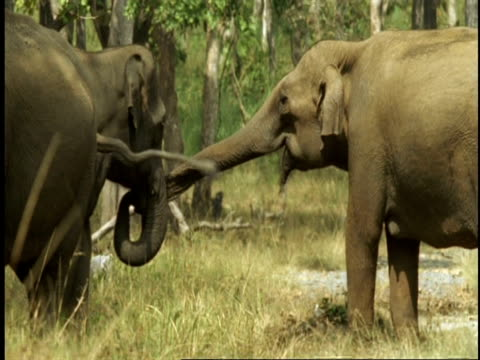 MS Asian Elephant, Elephas maximus, affectionate trunk touching, Western Ghats, India