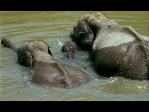 ms asian elephant, elephas maximus, calf swimming between adults, nagarahole national park, india - naso di animale video stock e b–roll