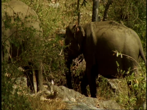 stockvideo's en b-roll-footage met ms asian elephant, elephas maximus, putting sand on back with trunk, western ghats, india - neus van een dier