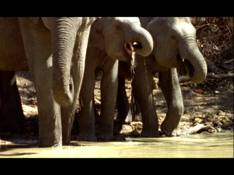 MS Asian Elephant family drinking at waterhole, India