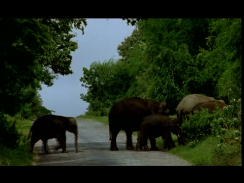 asian elephant (elephas maximus) herd crossing road, bandipur - group of objects stock videos & royalty-free footage