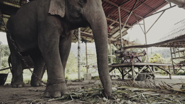 asian elephant in the zoo - elephant stock videos & royalty-free footage