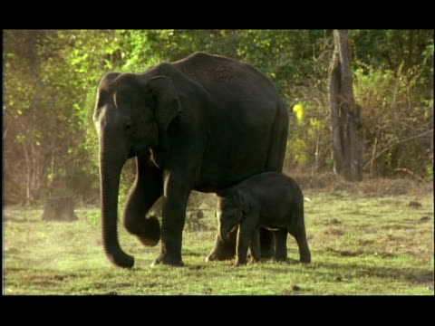 asian elephant (elephas maximus) mother and calf stamping up dirt, kabini, nagarahole, india - female animal stock videos & royalty-free footage