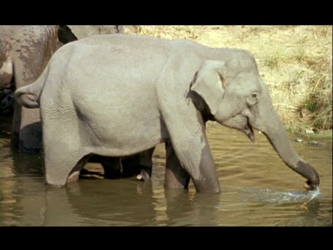 MCU Asian Elephant (Elephas maximus) spraying water on its body, Kolchi waterhole, India