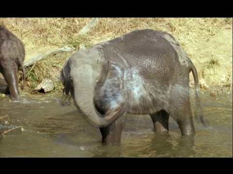 MS Asian Elephant (Elephas maximus) spraying water on its body, Kolchi waterhole, India