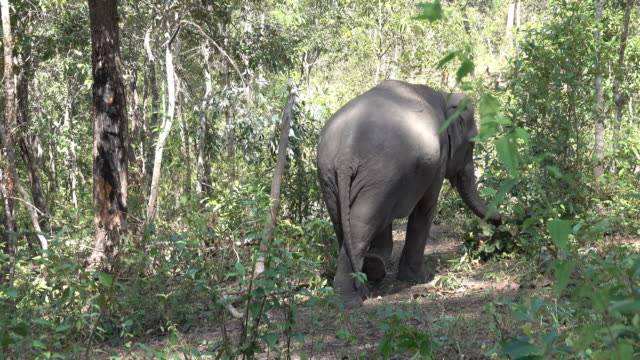 vidéos et rushes de éléphant d'asie - {{relatedsearchurl(carousel.phrase)}}