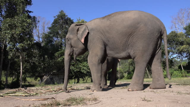 asian elephant - animal nose stock videos & royalty-free footage