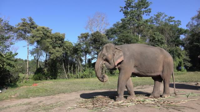 アジア象 - {{ contactusnotification.cta }}点の映像素材/bロール