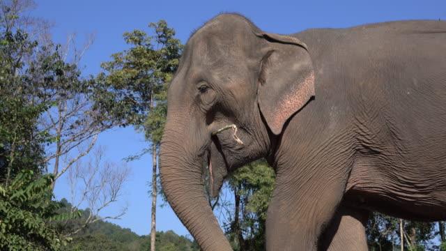 asian elephant - {{ contactusnotification.cta }} stock videos & royalty-free footage