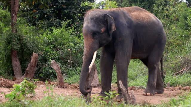stockvideo's en b-roll-footage met asian elephant (elephas maximus) - neus van een dier