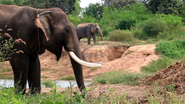 vídeos de stock e filmes b-roll de elefante asiático (elephas maximus) - nariz de animal