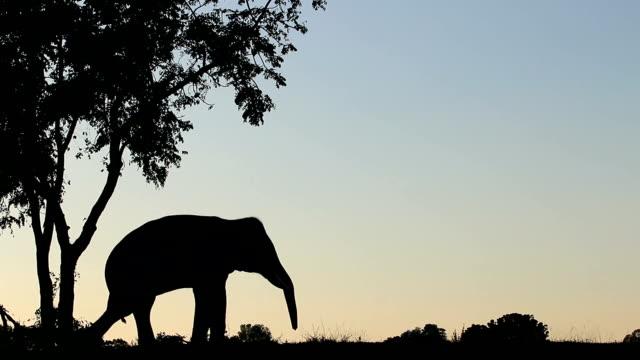 asiatischer elefant (elephas maximus) - förderleitung stock-videos und b-roll-filmmaterial