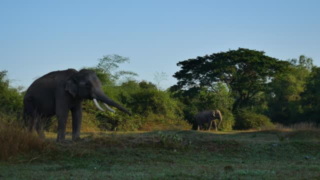 Elefante asiatico (Elephas maximus)